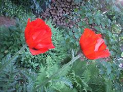 Mohnblüte im Garten